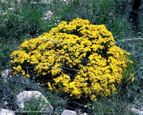 Flowering Shrubs Texas - texas native plants database