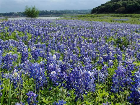 texas wildflower map s best spots to see bluebonnets and other wildflowers curbed