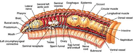 Worm Dissection Search Garden Initiative Biology And Anatomy Earthworm Phylum Annelida Animal