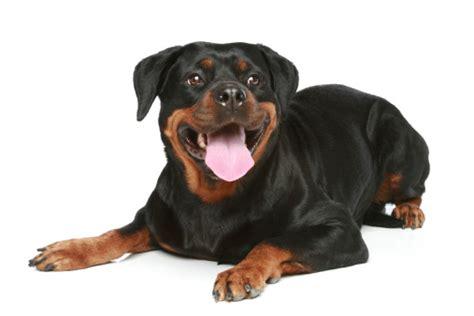rottweiler growls when petted behavior familypet