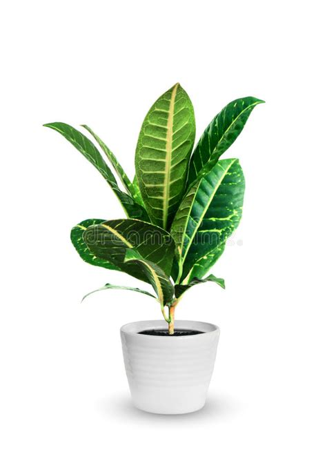 small potted plant isolated on white stock photo image young croton a potted plant isolated over white stock