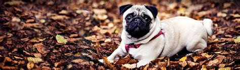 pug websites dogs puppies free web headers