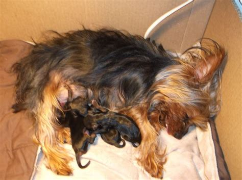 yorkies giving birth mandy is tired after just giving birth to 3 boys