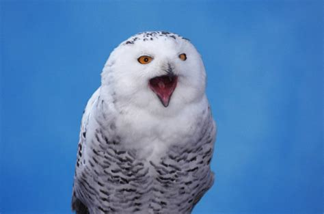 supercool facts about the shockingly beautiful snowy owl