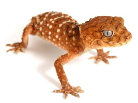 Knob Tailed Gecko For Sale by Knob Tailed Gecko Gecko