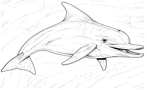 coloring page of bottlenose dolphin dolphin colouring pages
