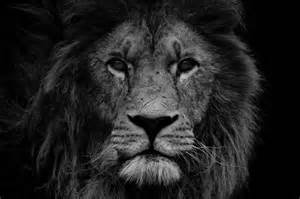 lion print lion photograph print lion head black and white office