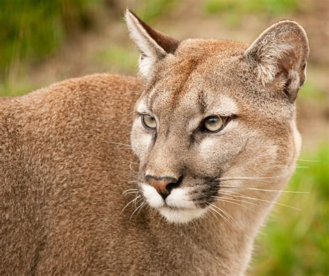reset nvram mountain lion a person just encountered a mountain lion in order to