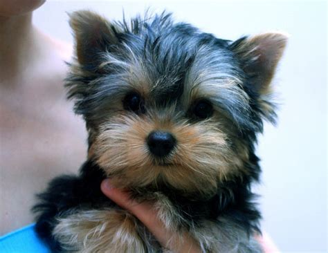 how to clean yorkie ears grooming my dogs ears ear grooming in dogs ear care breeds picture