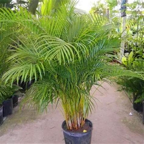 areca palm one of the best air purifying plants english health tips