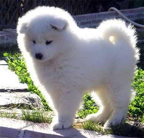 samoyed husky puppies 40 best images about samoyed