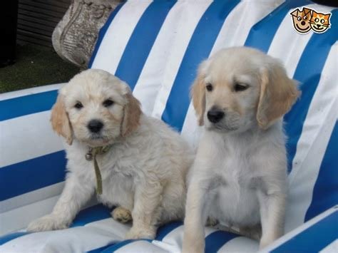 goldendoodle puppies for sale in essex goldendoodle puppies ready now chelmsford essex