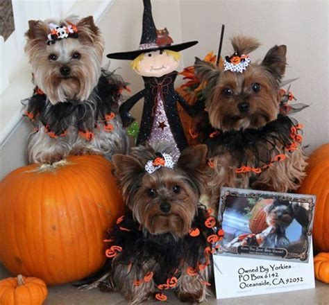 how often do yorkie poos need to be grooming 522 best ideas about yorkie quot quot on terrier puppys and