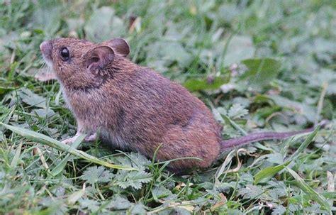 Wilson Wilsarin Rat Mouse 1 Fair Isle Bird Observatory Guesthouse