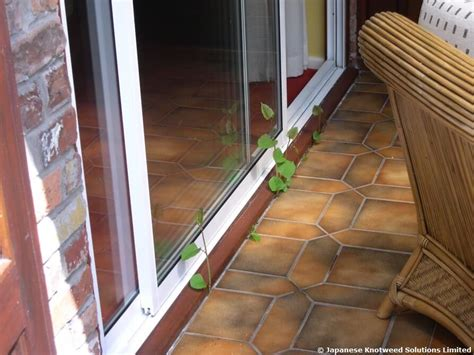 would you buy a house with japanese knotweed buying or selling property affected by japanese knotweed jksl