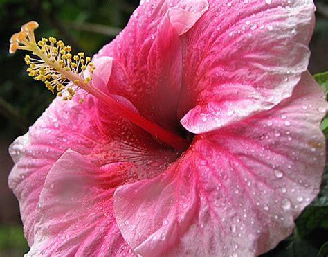 linguaggio dei fiori gerbera linguaggio dei fiori gerbera girasole hibiscus ipomea