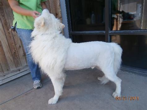 great pyrenees haircuts great pyrenees lion cut great pyrenees lion cut dog