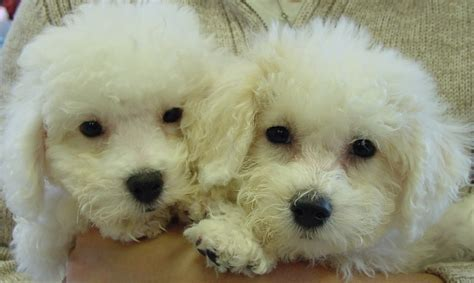 breeders indiana for sale dogs puppies in indiana breeders club