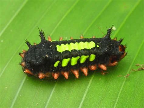 Caterpillar S6 Original treknature spiny caterpillar photo