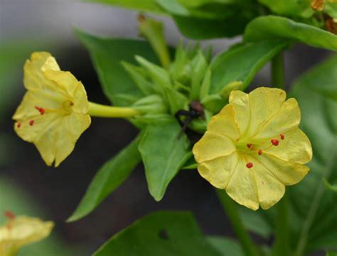 fiore di notte terrapin gardens annuals mirabilis jalapa