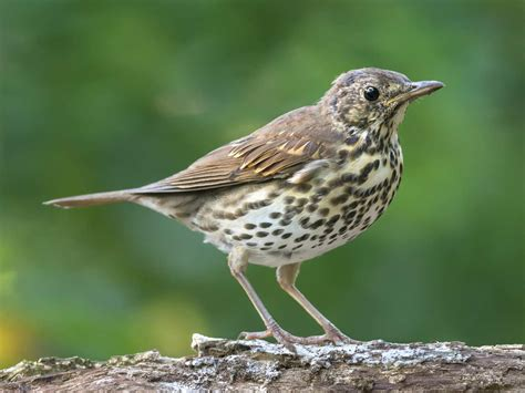 the songthrush history song diet saga