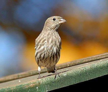 female house finch photos house finch identification all about birds cornell lab