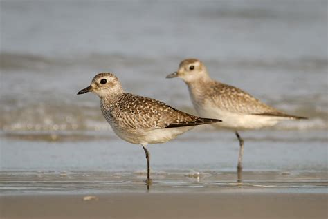 grey plover new zealand birds online