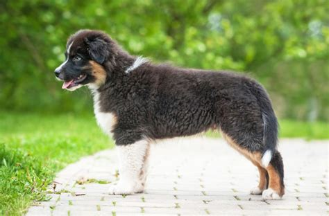 australian shepherd puppy cost australian shepherd breed information buying advice photos and facts pets4homes