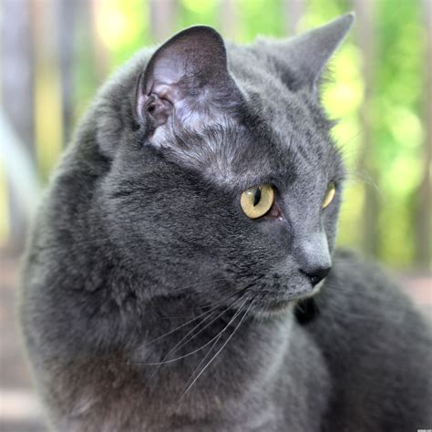 grey cat picture by jbillitteri for cats 3 photography contest pxleyes com