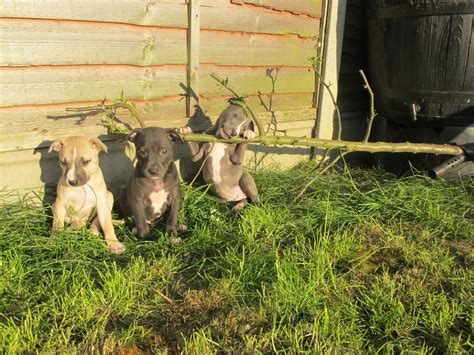 puppies for sale 300 bull whippet puppies for sale 300 posted 1 year ago for