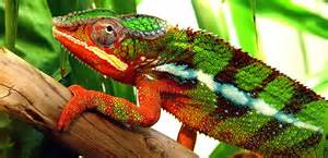 do iguanas change color how do chameleons and other creatures change colour