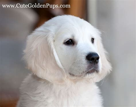 snow white golden retriever white golden retrievers dogs beautiful snow and
