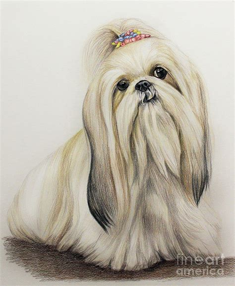how to draw a shih tzu shih tzu drawing by lena auxier