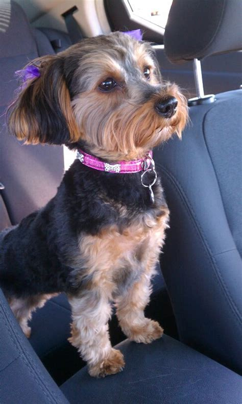 i my yorkie poo yorkie poo she is a omg its corbin made only