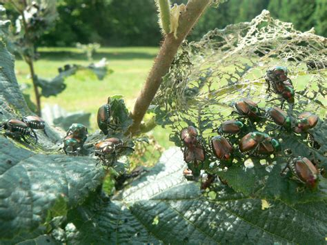 managing japanese beetles without chemicals can it be done ontario hop growers association