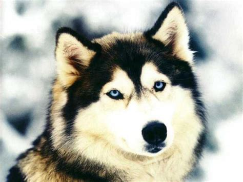 wallpaper serigala abstrak wallpaper foto anjing siberian husky yang keren gudang