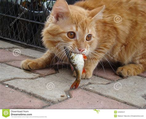 Cat The Fish by Cat Eats The Fish Stock Image Image Of Fish Anticipation