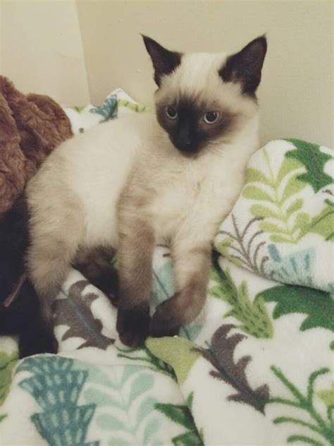 when do kittens change color change of eye color in a siamese cat