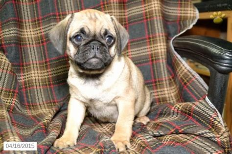 puggle puppies for sale in ohio 17 best ideas about puggle puppies for sale on puggles for sale puggle