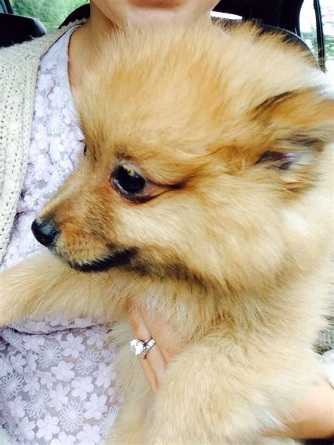 6 month pomeranian puppy 6 month pomeranian beautiful puppy for sale catterick garrison