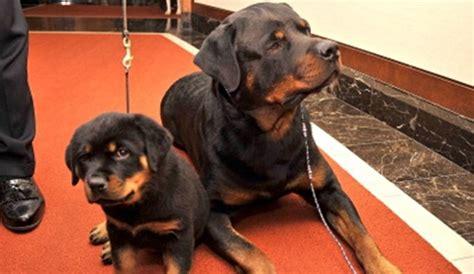 rottweiler puppies attack rottweiler saves boy from pitbull