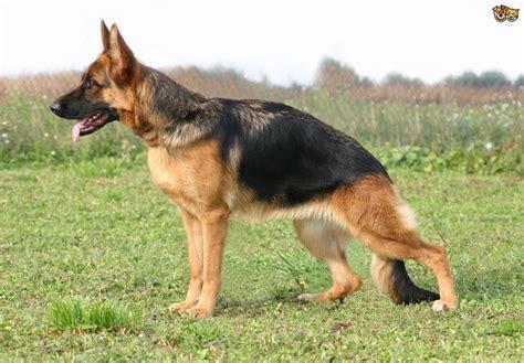 average lifespan of a german shepherd health issues commonly seen in german shepherds pets4homes