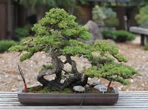 file japanese garden juniper gsbf cn 178 september