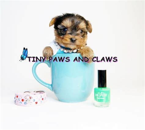 teacup yorkie houston tx teacup parti yorkies for sale breeds picture