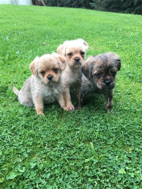 pugapoo puppies for sale stunning pugapoo puppies for sale staffordshire pets4homes
