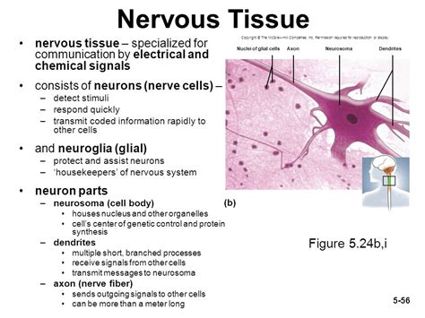 what part of a neuron houses the nucleus what part of a neuron houses the nucleus 28 images neuron label houses plans