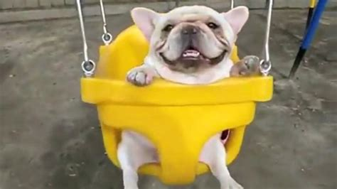 bulldog in a swing these french bulldogs will absolutely melt your heart omg