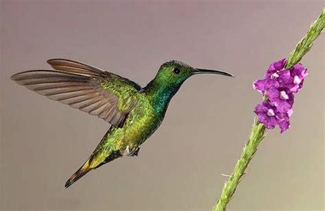 colorful hummingbirds www keralites net colorful hummingbirds gallerys