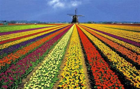 netherlands tulip fields byelisabethnl holland and typical dutch things 02