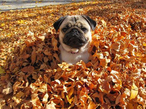 pug in leaves puppy fall autumn seasonal pug leaves changing leaves seasonal seasonal
